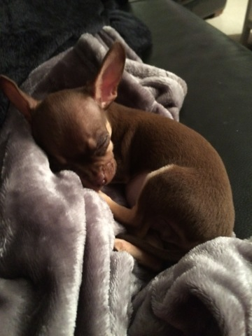 Cooky, chien Chihuahua