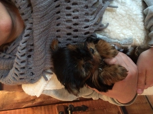 Cooky, chiot Yorkshire Terrier