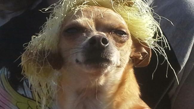 Copain, chien Chihuahua