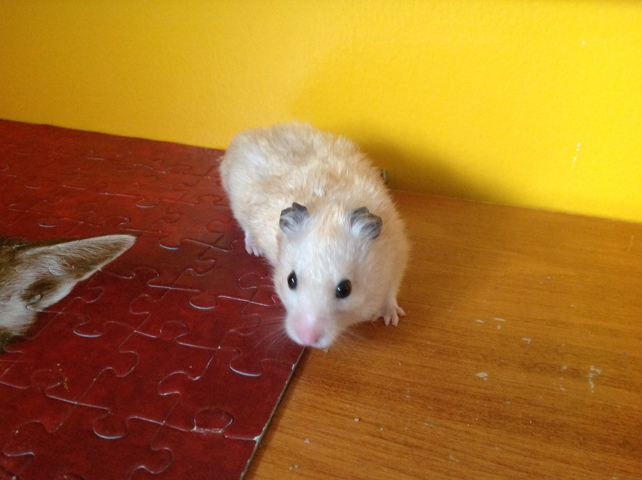 Coquin, rongeur Hamster