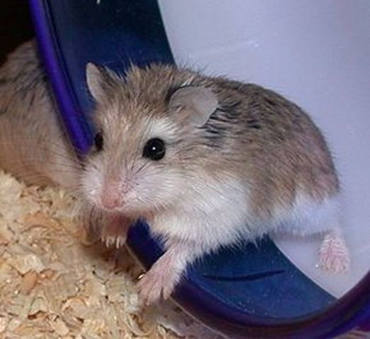 Coquinette, rongeur Hamster