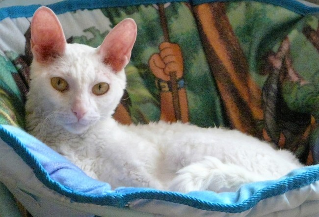 Ophilie, chat Cornish Rex