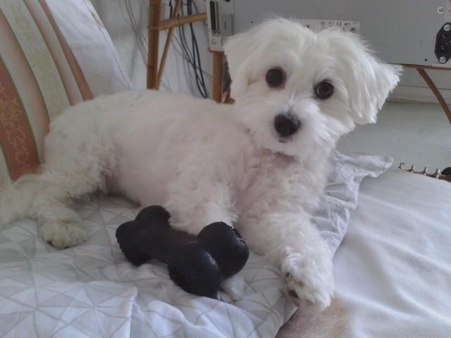 Jade, chien Coton de Tuléar