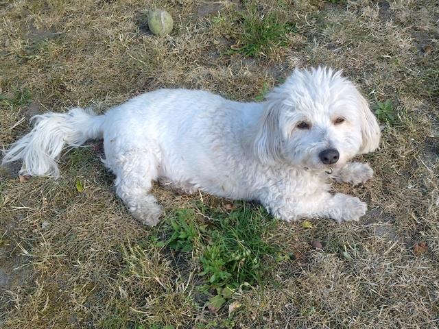 Titou, chien Coton de Tuléar