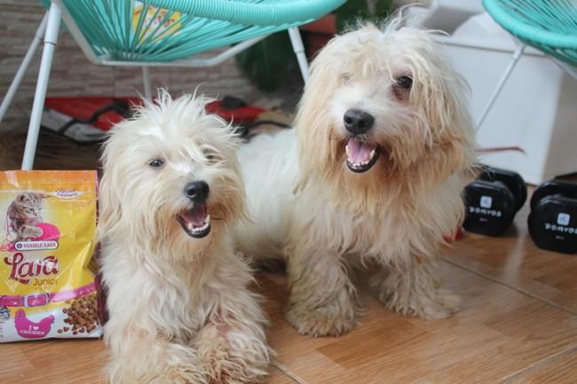 Chiby, chien Coton de Tuléar