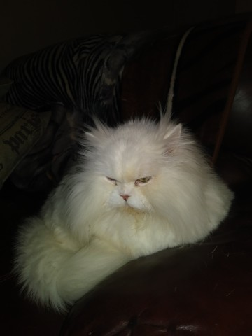 Cotonnelle, chat Persan