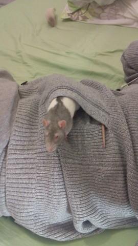 Crevette, rongeur Rat