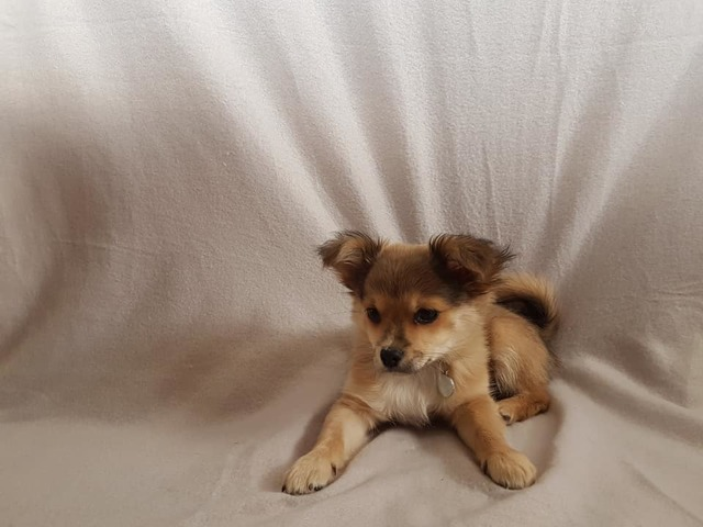 Crowly, chiot Chihuahua