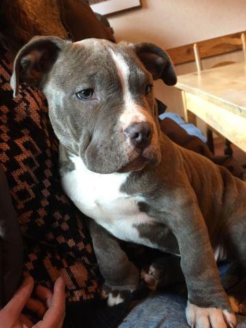 Curtis, chien Bulldog