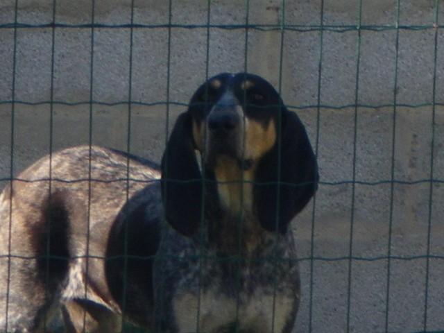 Emmy, chien Bleu de Gascogne