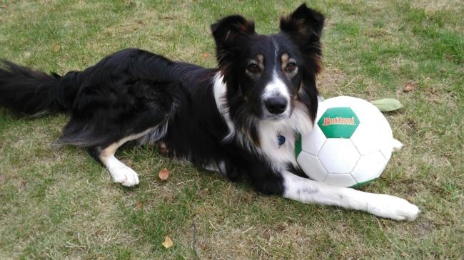 Dakota, chien Border Collie