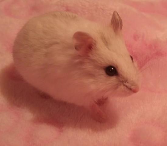 Danna, rongeur Hamster