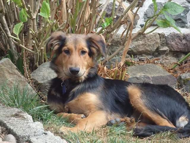 Darko, chien Beauceron