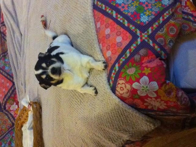 Deamon, chien Chihuahua
