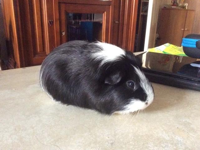 Deejay, rongeur Cochon d'Inde