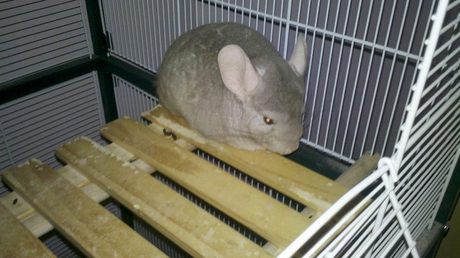Deilah, Chinchilla