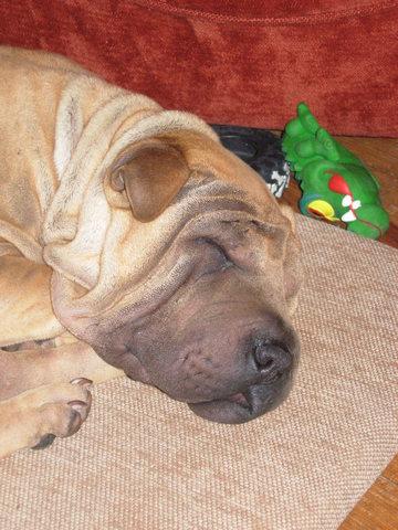 Delia, chien Shar Pei