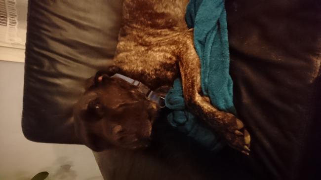 Delta, chien Cane Corso