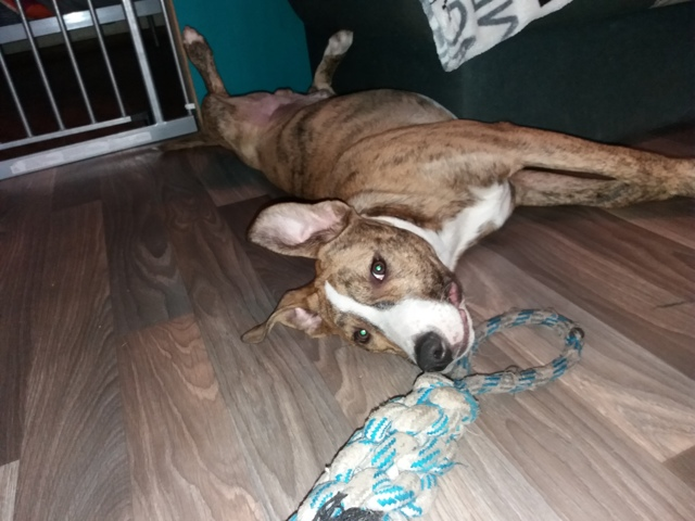 Démon, chien American Staffordshire Terrier