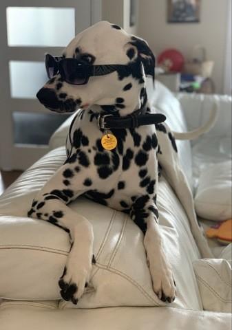 Dexter, chien Dalmatien
