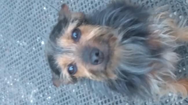 Diana, chien Yorkshire Terrier