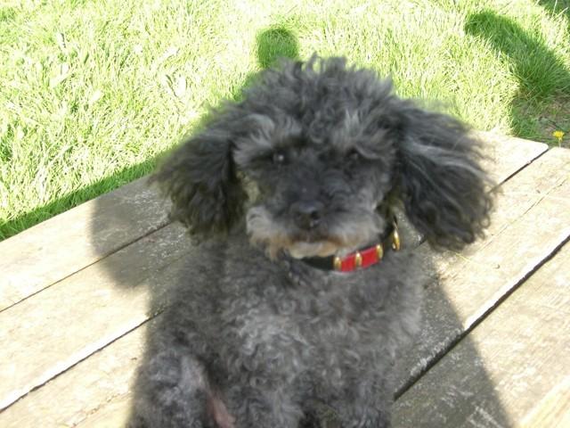 Diane, Décédée Le 25 Mai 2010, chien Caniche