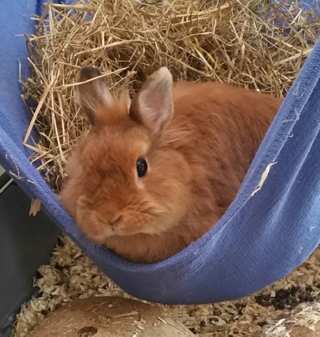 Didine, rongeur Lapin