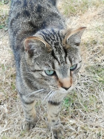 Diego, chaton Européen