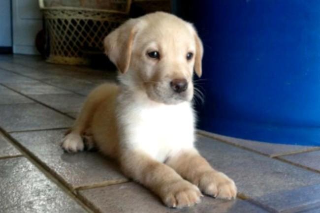 Dingo, chiot Labrador Retriever