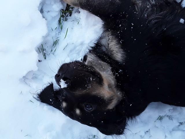 Django, chien Teckel