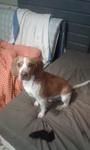 Django, chien Beagle