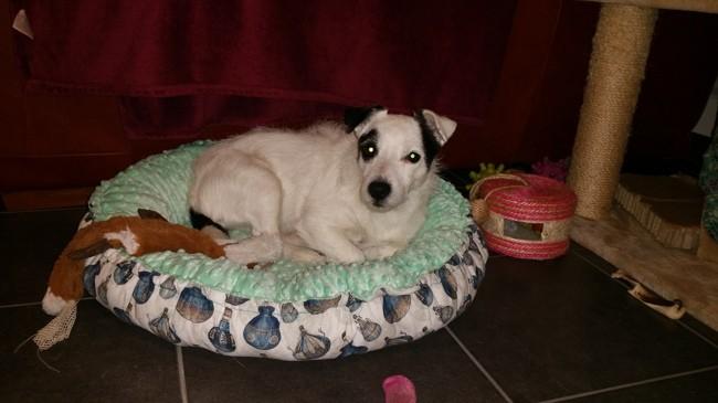 Djazzy, chien Jack Russell Terrier