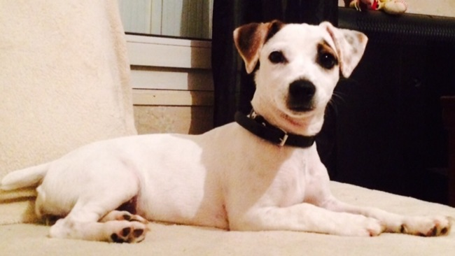 Djina, chien Jack Russell Terrier