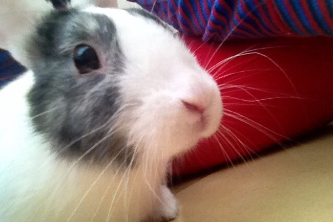 Dobby, rongeur Lapin