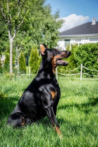 Katon, chien Dobermann