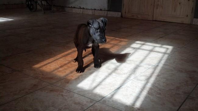 Zeus, chiot Dogue allemand