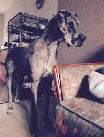 Fibby, chien Dogue allemand
