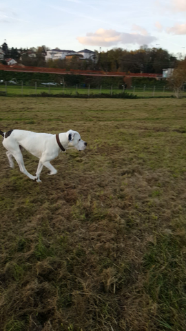 Drogo, chien Dogue argentin