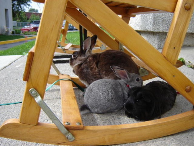Dolce, rongeur Lapin