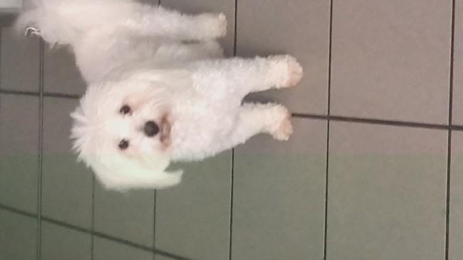 Dolly, chien Bichon maltais