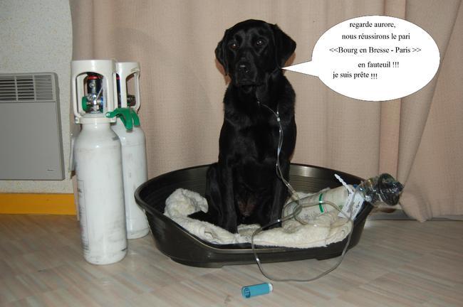Dolma, chien Labrador Retriever