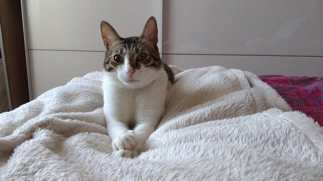 Dominique, chat Européen