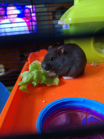 Douguy, rongeur Hamster