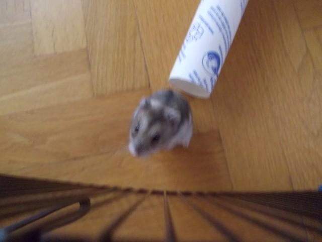 Doushka, rongeur Hamster