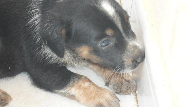 Aqua, chien Drever