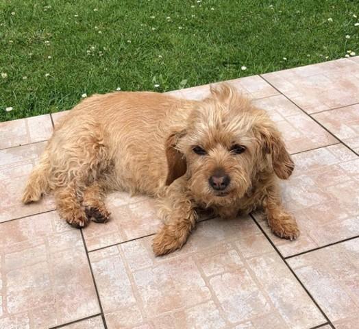 Dubai, chien Basset fauve de Bretagne