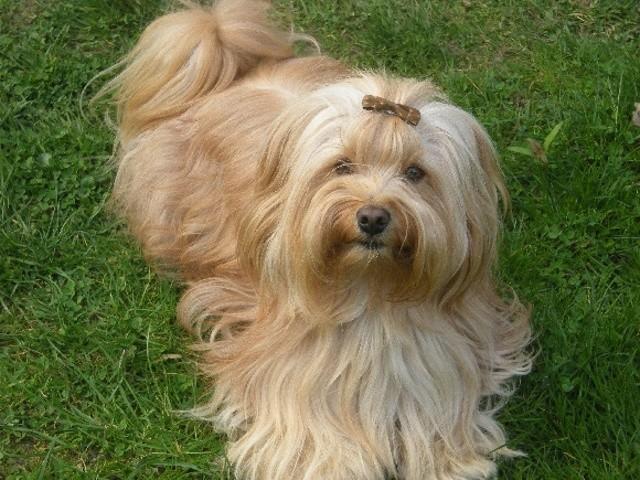 Dundy, chien Bichon havanais