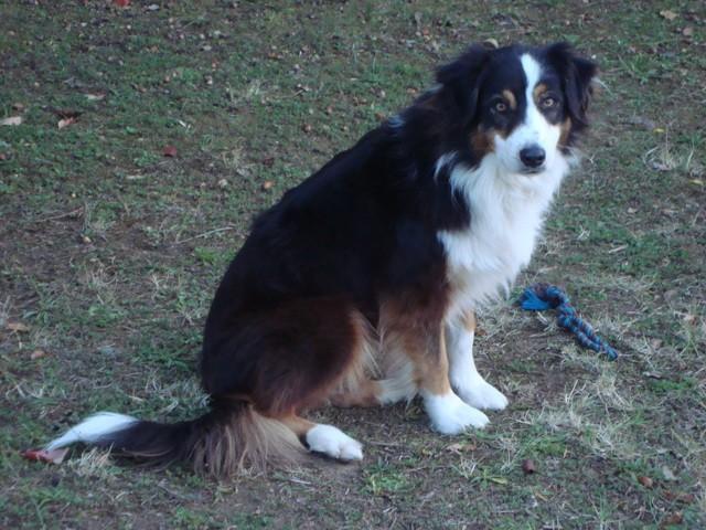 Dyani, chien Berger australien