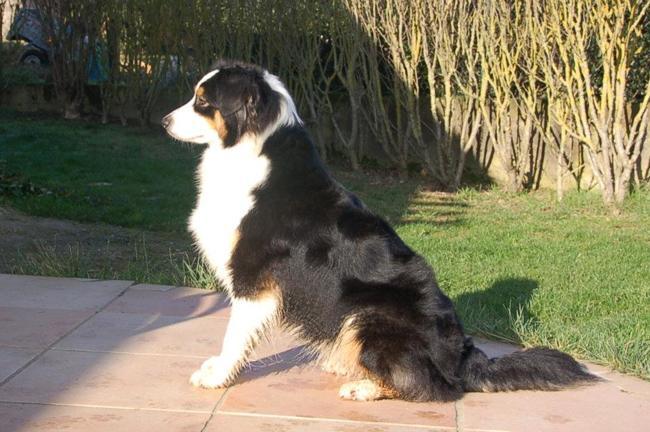 Early, chien Berger australien