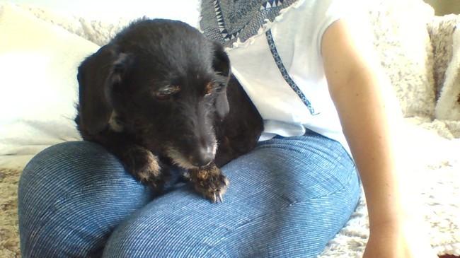 Ebène, chien Teckel